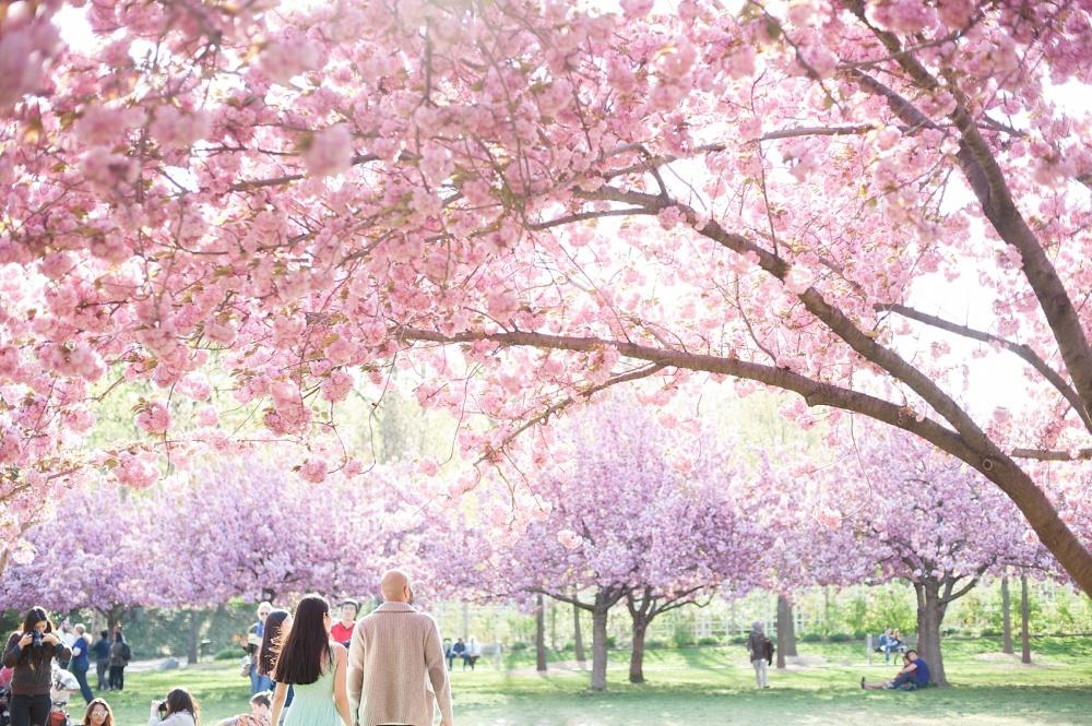 40-mikkelpaige-leyla_beejan-brooklyn_botanical_cherry_blossoms
