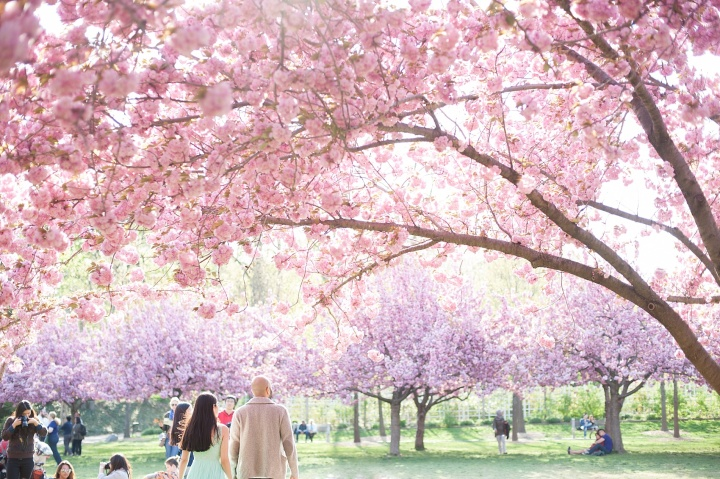 40-mikkelpaige-leyla_beejan-brooklyn_botanical_cherry_blossoms