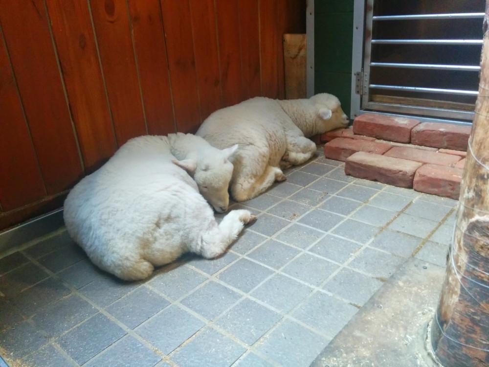 Seoul, S Korea - Sheep Cafe